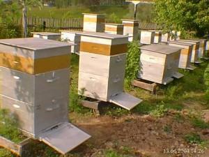 Пчелиная семья: матка, трутни и рабочие пчелы
