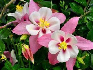 Фото цветов аквилегии