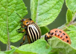 Какие средства от колорадского жука самые эффективные