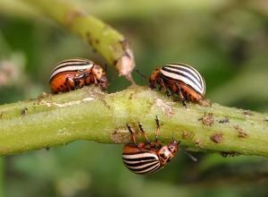 Преимущество препарата Молния от колорадского жука