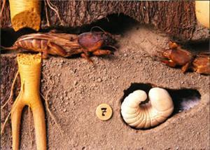 Как определить подземные ходы медведки