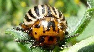 Совместимость препарата Командор от колорадского жука