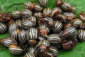 Лучшие препараты борьбы с колорадским жуком