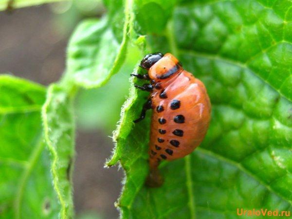 личинка колорадского жука фото