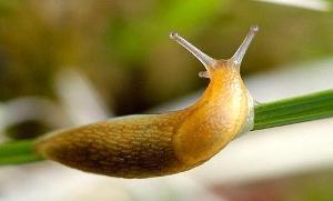 Чем питаются сетчатые слизни?