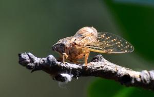 Как стрекочут цикады?