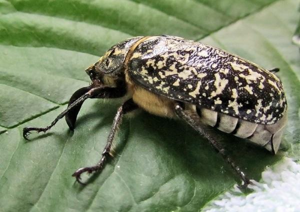 Белый майский жук  фото