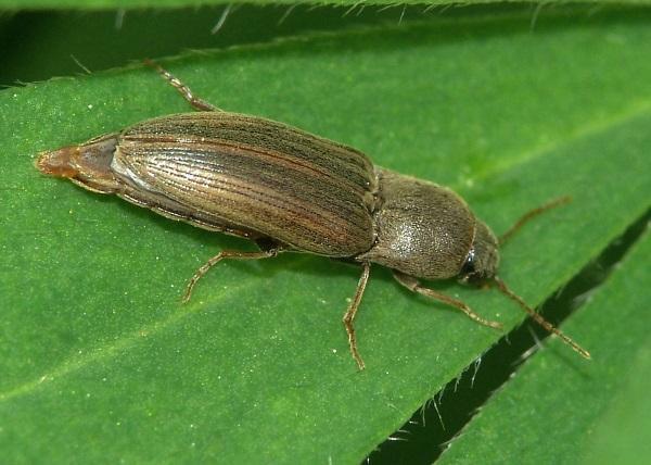 Фото жука-щелкуна проволочника