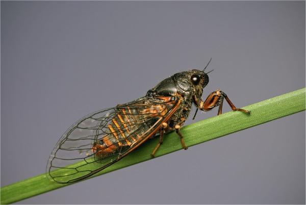 Фото горной цикады