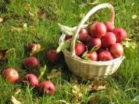 Хранение яблок дома