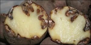 Как бороться с картофельной молью?