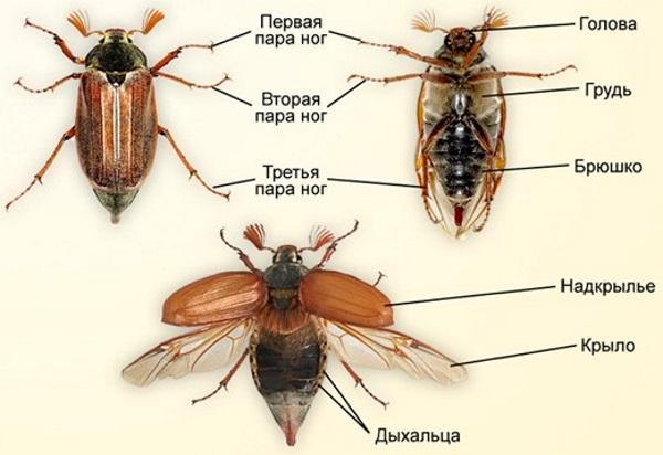 Как выглядит майский жук?
