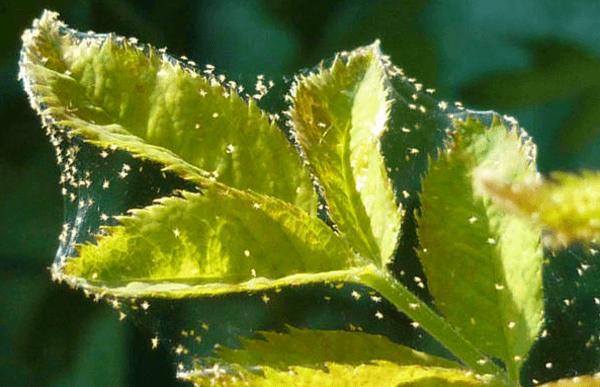 Клещ на малине - фото
