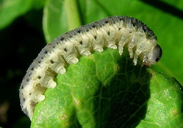 Как выглядят гусеницы совок?