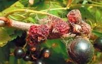 Паутинный клещ на ягоде