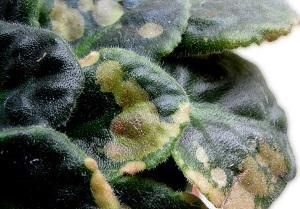 Поражение комнатных цветов паутинным клещом