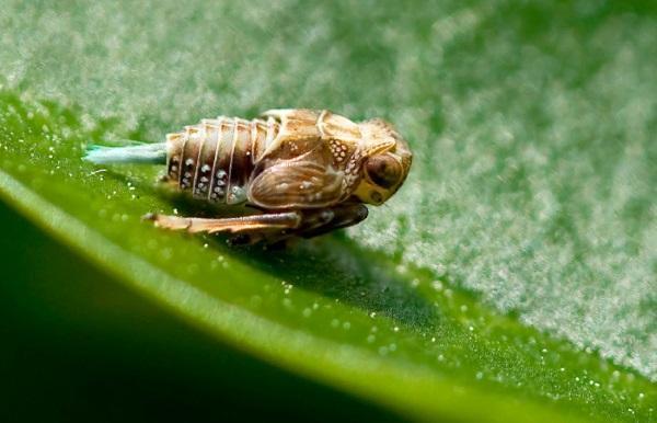Прыгучая цикада