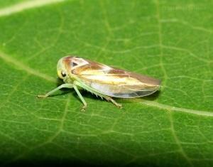 Разновидности цикады