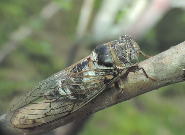 Цикадка обыкновенная - вред