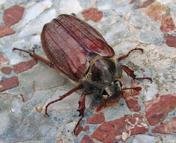 Восточный майский жук