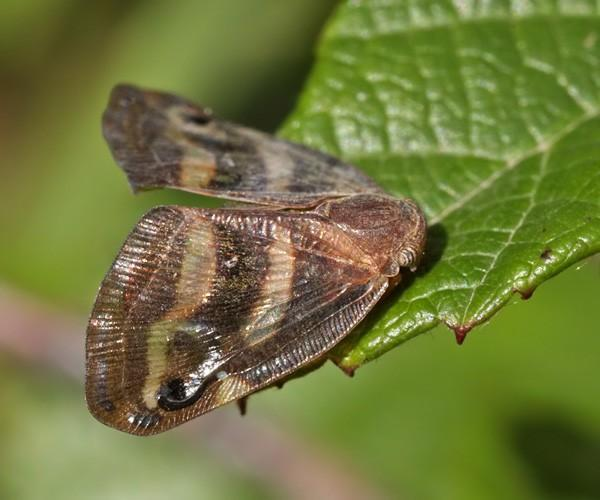 Японская бабочка