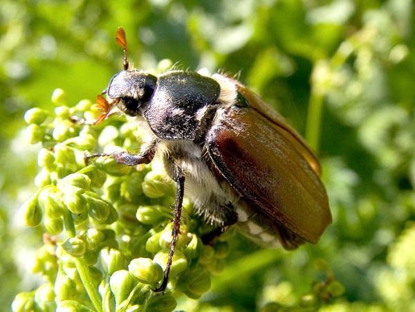 Западный майский жук