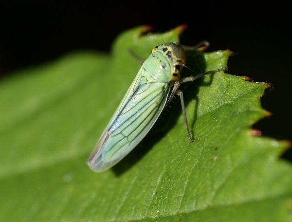 Фото зеленой цикады
