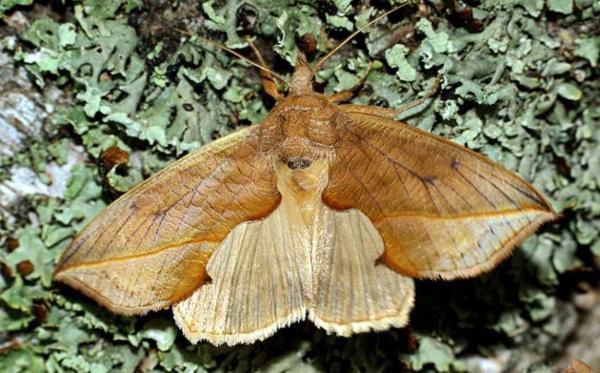 Как выглядит бабочка совка?