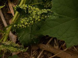 Как выглядит виноградная филлоксера