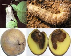 Совка на картофеле как бороться?