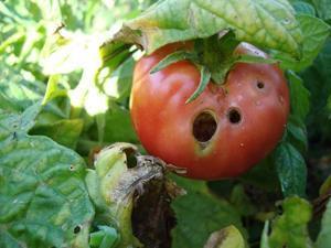 Совка методы борьбы на томатах