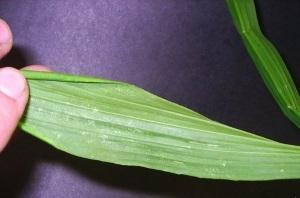 Ложный клещ на растениях