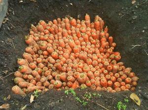Как хранить морковь в яме