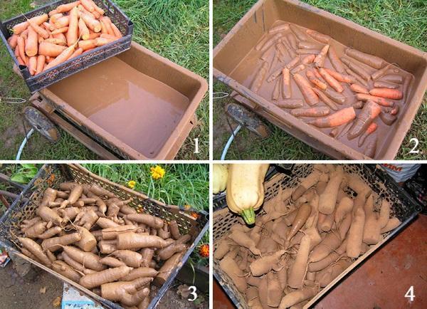 Обмакивание моркови в глину