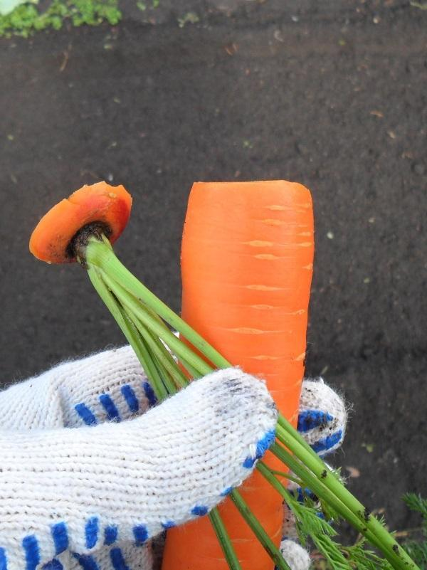Обрезка моркови для хранения