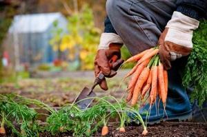Подготовка моркови для погреба