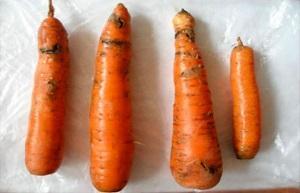 Причины гниения моркови