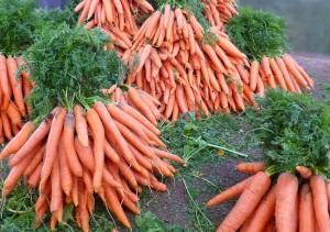 Сроки и техника уборки моркови