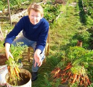 Сроки сбора моркови