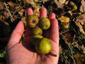 Сухофрукты из диких груш