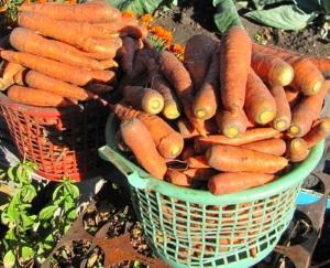 Уборка и хранение моркови на зиму