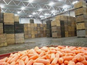Закладка моркови в овощехранилище
