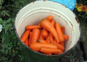 Способы сбережения моркови зимой