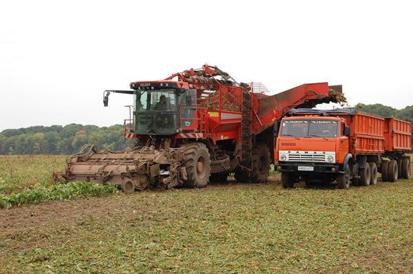Свекла уборка урожая и хранение на зиму