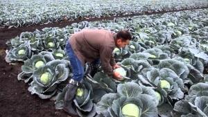 Чем срезать капусту?