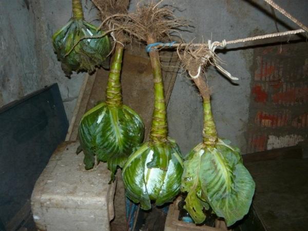 Хранение капусты с корнем