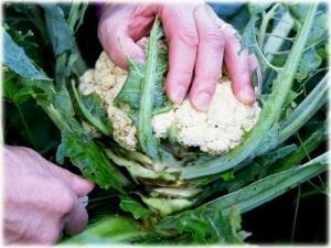 Как срезать цветную капусту?