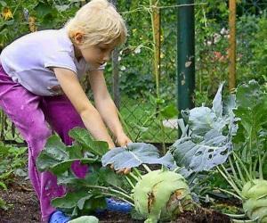 Сроки уборки кольраби с огорода