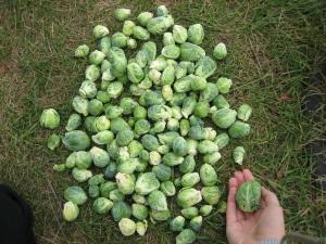 Уборка брюссельской капусты на хранение