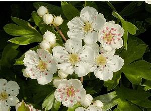 Цветки и бутоны боярышника